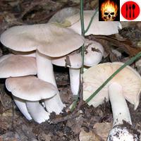Справочник ядовитых грибов с фотографиями и описанием