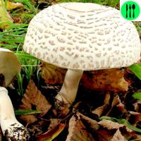 Фото и описание редких грибов из Красной книги России