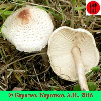 Гриб зонтик, съедобные виды, фото и описание