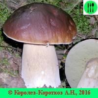 Белый гриб, съедобные и ложные виды с фото и описанием