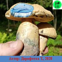 Собирать грибы в дубовом лесу